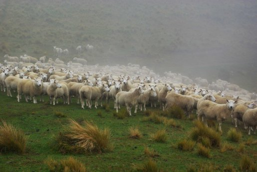 img wool scourers muster sheep